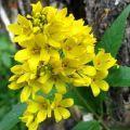 желтоцвет