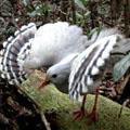 птица из отряда журавлиных каледония
